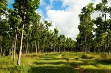 hawaii trees